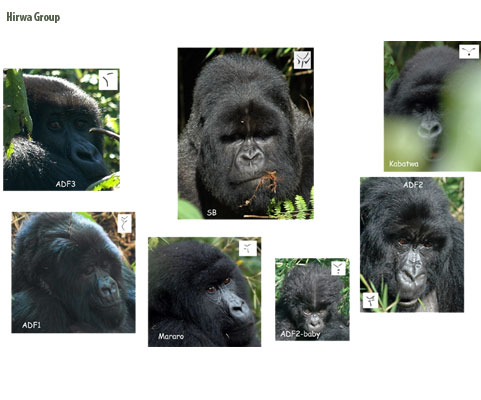 Hirwa gorilla group